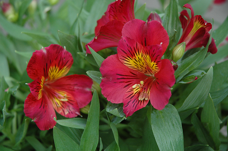 Oxana Princess Lilies Alstroemeria Staprioxa At Platt Hill Nursery