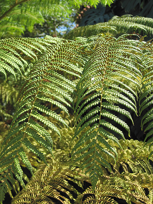 Australian Tree Fern Cyathea Cooperi At Platt Hill Nursery