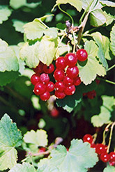 Red Currant (Ribes sativum) at Platt Hill Nursery