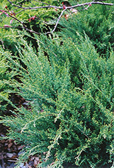 Sea Green Juniper (Juniperus chinensis 'Sea Green') at Platt Hill Nursery