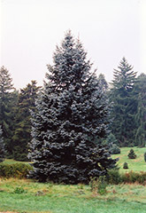 Hoopsii Blue Spruce (Picea pungens 'Hoopsii') at Platt Hill Nursery