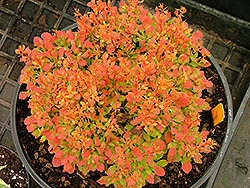 Golden Ruby Barberry (Berberis thunbergii 'Goruzam') at Platt Hill Nursery