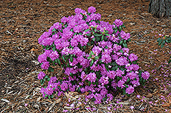Compact P.J.M. Rhododendron (Rhododendron 'P.J.M. Compact') at Platt Hill Nursery