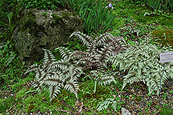 Japanese Painted Fern (Athyrium nipponicum 'Pictum') at Platt Hill Nursery