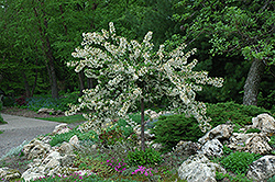 Tina Flowering Crab (Malus sargentii 'Tina') at Platt Hill Nursery