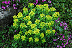 Cushion Spurge (Euphorbia polychroma) at Platt Hill Nursery