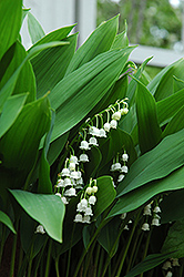Lily-Of-The-Valley (Convallaria majalis) at Platt Hill Nursery