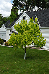 Princeton Gold Maple (Acer platanoides 'Princeton Gold') at Platt Hill Nursery