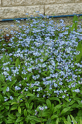 Forget-Me-Not (Myosotis sylvatica) at Platt Hill Nursery