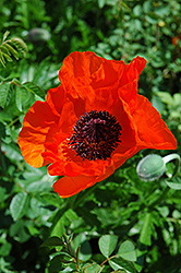 Allegro Poppy (Papaver orientale 'Allegro') at Platt Hill Nursery
