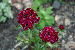 Sweet William (Dianthus barbatus) at Platt Hill Nursery
