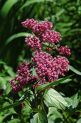 Swamp Milkweed (Asclepias incarnata) at Platt Hill Nursery
