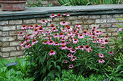 Magnus Coneflower (Echinacea purpurea 'Magnus') at Platt Hill Nursery