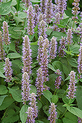 Blue Fortune Anise Hyssop (Agastache 'Blue Fortune') at Platt Hill Nursery