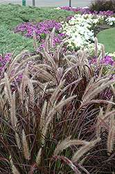 Purple Fountain Grass (Pennisetum setaceum 'Rubrum') at Platt Hill Nursery