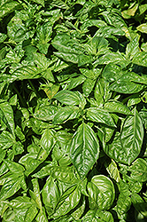 Sweet Basil (Ocimum basilicum) at Platt Hill Nursery