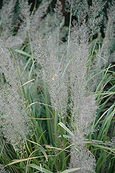 Korean Reed Grass (Calamagrostis brachytricha) at Platt Hill Nursery