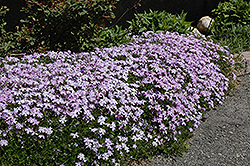 Emerald Blue Moss Phlox (Phlox subulata 'Emerald Blue') at Platt Hill Nursery