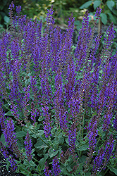 May Night Sage (Salvia x sylvestris 'May Night') at Platt Hill Nursery