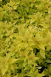 Goldmound Spirea (Spiraea japonica 'Goldmound') at Platt Hill Nursery
