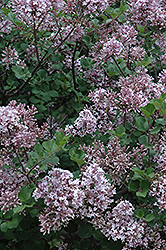 Dwarf Korean Lilac (Syringa meyeri 'Palibin') at Platt Hill Nursery