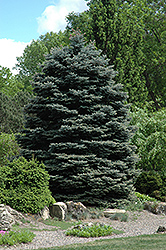 Fat Albert Blue Spruce (Picea pungens 'Fat Albert') at Platt Hill Nursery