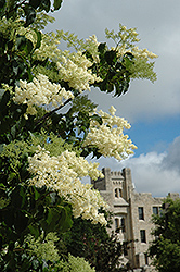 Ivory Silk Japanese Tree Lilac (Syringa reticulata 'Ivory Silk') at Platt Hill Nursery