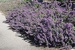 Walker's Low Catmint (Nepeta x faassenii 'Walker's Low') at Platt Hill Nursery