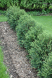 Technito® Arborvitae (Thuja occidentalis 'Bailjohn') at Platt Hill Nursery