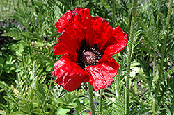 Beauty of Livermere Poppy (Papaver orientale 'Beauty of Livermere') at Platt Hill Nursery