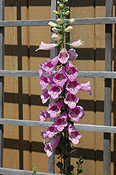 Common Foxglove (Digitalis purpurea) at Platt Hill Nursery