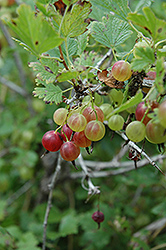 Pixwell Gooseberry (Ribes 'Pixwell') at Platt Hill Nursery