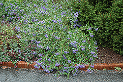 Blue Mist Caryopteris (Caryopteris x clandonensis 'Blue Mist') at Platt Hill Nursery