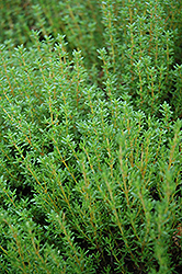 Common Thyme (Thymus vulgaris) at Platt Hill Nursery