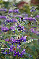 Dark Knight Caryopteris (Caryopteris x clandonensis 'Dark Knight') at Platt Hill Nursery