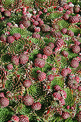 Red Hens And Chicks (Sempervivum 'Red') at Platt Hill Nursery