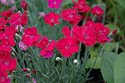 Neon Star Pinks (Dianthus 'Neon Star') at Platt Hill Nursery