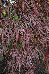 Tamukeyama Japanese Maple (Acer palmatum 'Tamukeyama') at Platt Hill Nursery