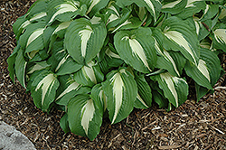 Night Before Christmas Hosta (Hosta 'Night Before Christmas') at Platt Hill Nursery