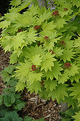 Golden Fullmoon Maple (Acer japonicum 'Aureum') at Platt Hill Nursery