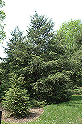 Canadian Hemlock (Tsuga canadensis) at Platt Hill Nursery