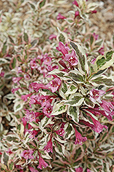 My Monet® Weigela (Weigela florida 'Verweig') at Platt Hill Nursery