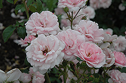 Bonica® Rose (Rosa 'Meidomonac') at Platt Hill Nursery