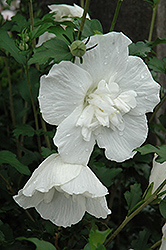 White Chiffon® Rose of Sharon (Hibiscus syriacus 'Notwoodtwo') at Platt Hill Nursery