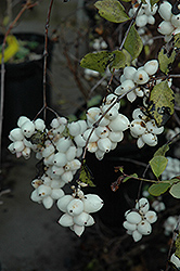 Snowberry (Symphoricarpos albus) at Platt Hill Nursery
