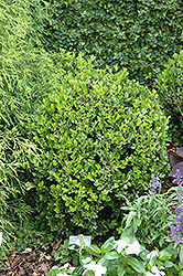 Winter Gem Boxwood (Buxus microphylla 'Winter Gem') at Platt Hill Nursery