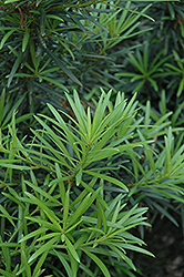 Japanese Yew (Podocarpus macrophyllus) at Platt Hill Nursery