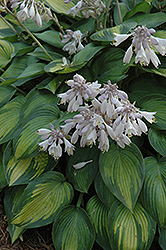 June Hosta (Hosta 'June') at Platt Hill Nursery