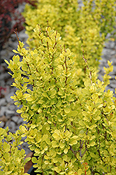 Sunjoy Gold Pillar Japanese Barberry (Berberis thunbergii 'Sunjoy Gold Pillar') at Platt Hill Nursery