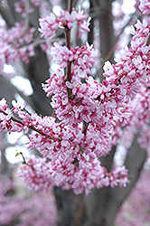 Eastern Redbud (Cercis canadensis) at Platt Hill Nursery